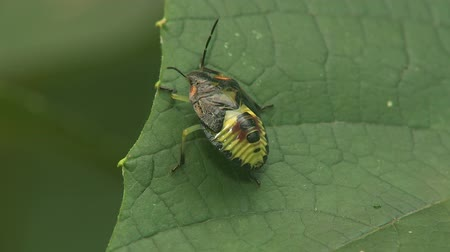 folha : A Green Stink Bug (Chinavia hilaris) nymph, 5th instar, perches on a leaf. Stock Footage