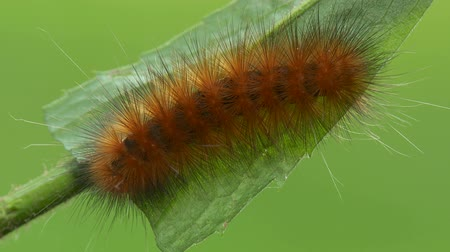 folha : A Virginia Tiger Moth (Spilosoma virginica) caterpillar, also known as a Yellow Woolybear, feeds on a Goldenrod plant leaf in late summer.