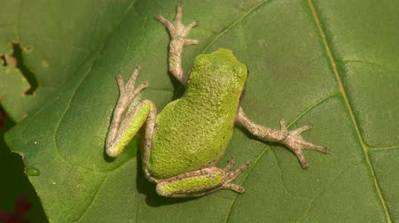 toad : A Gray Treefrog (Hyla versicolor) perches on an American Pokeweed leaf. It has changed its dorsal surface to a vibrant green to match the leaf. Stock Footage