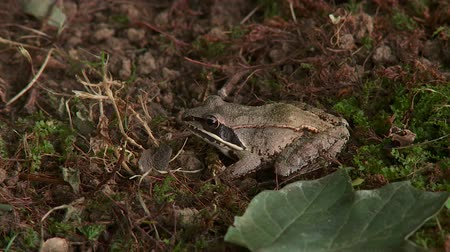 ropucha : A Wood Frog (Rana sylvatica) sits on the ground at the edge of a wooded area in autumn.