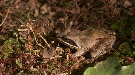 toad : A Wood Frog (Rana sylvatica) sits on the ground at the edge of a wooded area in autumn.