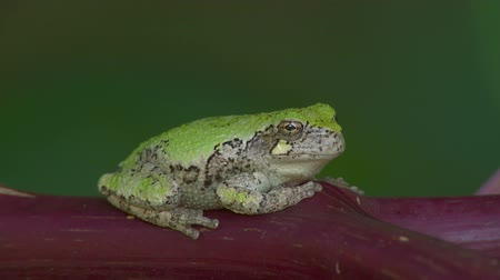 hylidae : A Gray Treefrog (Hyla versicolor) perches on the reddish stem of an American Pokeweed plant.