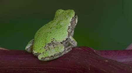 toad : A Gray Treefrog (Hyla versicolor) perches on the reddish stem of an American Pokeweed plant, then turns and jumps away.