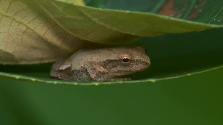 hylidae : A Spring Peeper (Pseudacris crucifer) perches between two wild grape leaves. Stock Footage