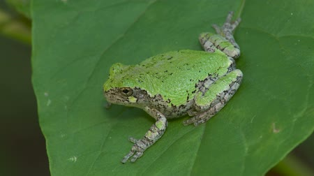 toad : A Gray Treefrog (Hyla versicolor) perches on a leaf of an American Pokeweed plant.