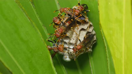 yabanarısı : A group of Paper Wasps (Polistes exclamans) guard larvae and pupae in the chambers of their nest hanging from a Saw Palmetto frond.