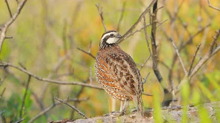 subspecies : A male Florida Bobwhite (Colinus virginianus floridanus), a regional subspecies of the Northern Bobwhite, stands on a log mostly hidden in low vegetation while calling just after sunrise in Highlands Hammocks State Park, Sebring Florida. Stock Footage