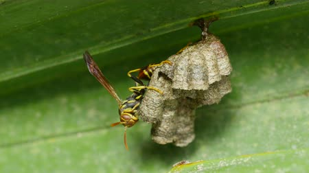 yabanarısı : A Paper Wasp (Polistes sp.) guards larvae and pupae in the chambers of its nest hanging from a Saw Palmetto frond. Stok Video