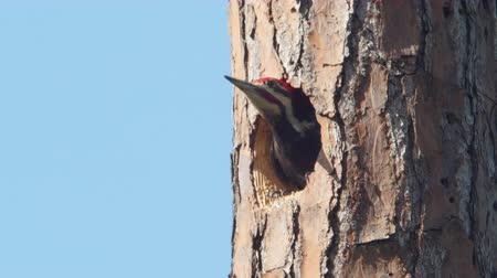 picidae : An adult male Pileated Woodpecker (Dryocopus pileatus) looks out from its nest hole high up in the trunk of a long leaf pine tree before flying away. Stock Footage