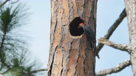 picidae : An adult male Red-bellied Woodpecker (Melanerpes carolinus) looks into a Pileated Woodpecker nest hole high up in the trunk of a long leaf pine tree, before moving away.