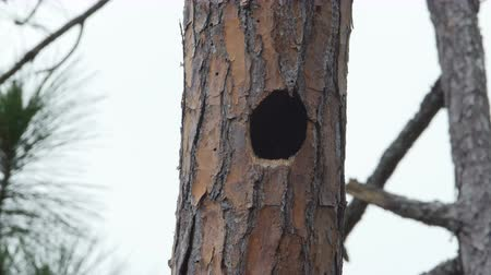 picidae : An adult male Pileated Woodpecker (Dryocopus pileatus) looks into and enters its nest hole high up in the trunk of a long leaf pine tree, followed by the arrival of the female.