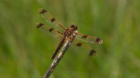 król : A female Painted Skimmer (Libellula semifasciata) dragonfly clings to a perch at the end of a stick and braces against a gentle breeze in spring.