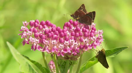 silkweed : Little Glassywing (Pompeius verna) skippers feed on a Swamp Milkweed flower inflorescence on a bright summer day.