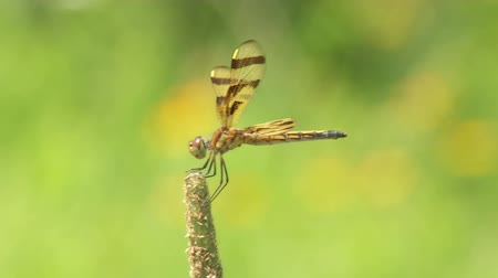 foraging behavior : A female Halloween Pennant (Celithemis eponina) dragonfly perches on the end of a weed while riding the wind and foraging away from water. Stock Footage