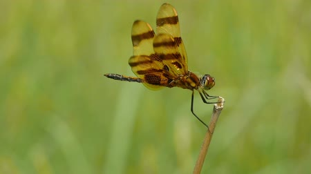 foraging behavior : A male Halloween Pennant (Celithemis eponina) dragonfly perches on the end of a weed while riding the wind and foraging away from water.