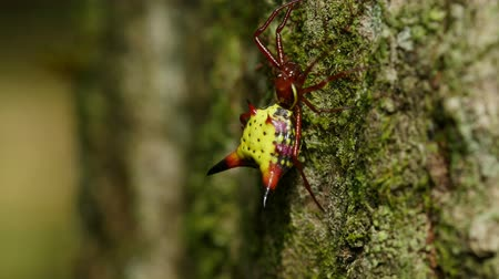 araneae : A female Arrowshaped Micrathena (Micrathena sagittata) spider clings to the side of a tree.