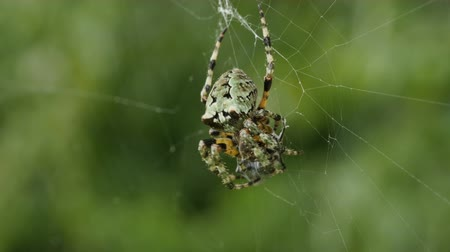 araneae : A Giant Lichen Orbweaver (Araneus bicentenarius) spider subdues and wraps its caught prey in silk before beginning to eat it. Stock Footage