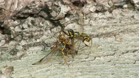 паразитный : Two male Giant Ichneumon (Megarhyssa macrurus) wasps compete to inseminate a female prior to her emergence in spring from inside a fallen log where she has parasitized a Pigeon Horntail (Tremex columba) larva.