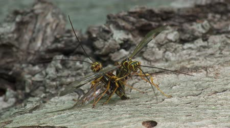 yabanarısı : Two male Giant Ichneumon (Megarhyssa macrurus) wasps compete to inseminate a female prior to her emergence in spring from inside a fallen log where she has parasitized a Pigeon Horntail (Tremex columba) larva.