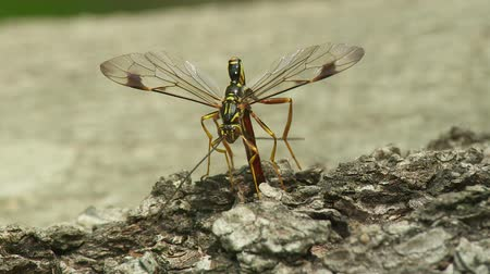 yabanarısı : A male Giant Ichneumon (Megarhyssa macrurus) wasp attempts to inseminate a female prior to her emergence in spring from inside a fallen log where she has parasitized a Pigeon Horntail (Tremex columba) larva.