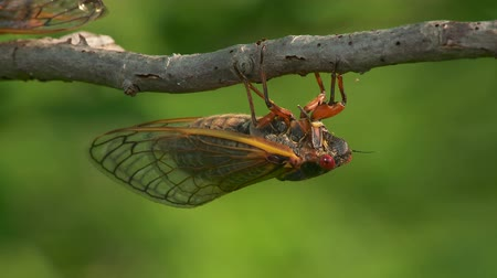 lét : An adult male 17-year periodical cicada (Magicicada septendecim) clings to a twig after emerging from its 17 year underground nymphal stage. Brood II 17-year periodical cicadas emerged to breed in the spring of 2013 after last being seen in 1996.