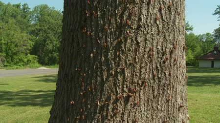 periódico : Adult 17-year periodical cicadas (Magicicada septendecim) and molted skins (exuviae) cling to the side of an oak tree after emerging from their 17 year underground nymphal stage. A chorus of adult males singing can be heard in the background. Brood II 17-