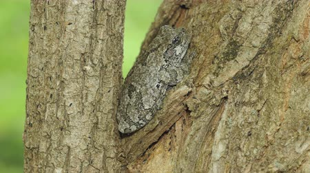 hylidae : A Gray Treefrog (Hyla versicolor) perches in the crotch of a Black Locust tree in spring. Numerous Springtails (Hypogastrura sp.) can be seen moving about the bark of the tree.
