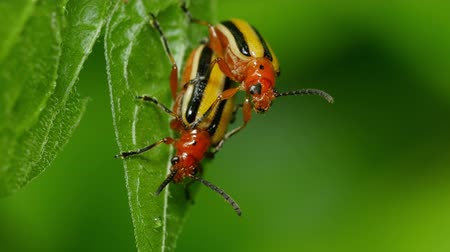 çiftleşme : A pair of Three-lined Potato Beetles (Lema daturaphila) mate on a Bittersweet Nightshade leaf in spring.