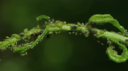 aphidoidea : Ants tend Aphids on a herbaceous plant stem in spring. The ants provide protection to the aphids in exchange for sugary honeydew. Stock Footage