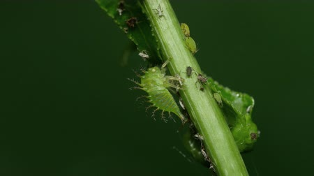 паразитный : A Buffalo Treehopper (Ceresa alta) nymph clings to a herbaceous plant stem along with many Aphids.
