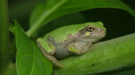 toad : A Gray Treefrog (Hyla versicolor) perches on a stem of an American Pokeweed plant. Stock Footage