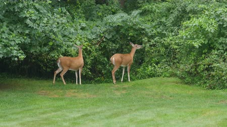 gramado : Two female (does) White-tailed Deer (Odocoileus virginianus) feed on vegetation in a suburban backyard on a rainy morning. Stock Footage
