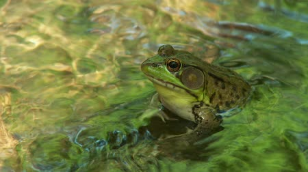 ropucha : A male Northern Green Frog (Rana clamitans melanota) looks out over the surface of a shallow creek. Dostupné videozáznamy