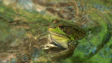 toad : A male Northern Green Frog (Rana clamitans melanota) looks out over the surface of a shallow creek. Stock Footage