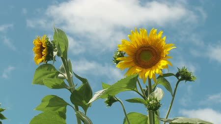 lafayette : Sunflowers (Helianthus annuus) sway in the wind against a blue sky and a few passing clouds. Stock Footage