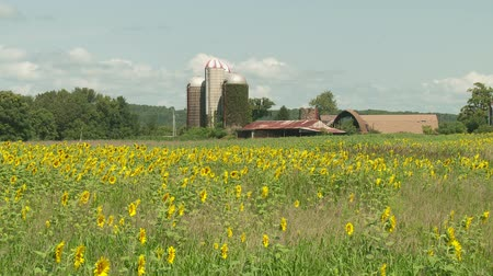 augusta : Sunflowers (Helianthus annuus) sway in the wind with farm buildings in the background.