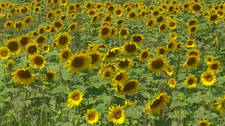 augusta : A field of sunflowers (Helianthus annuus) sway in the wind against a blue sky and a few passing clouds. Stock Footage