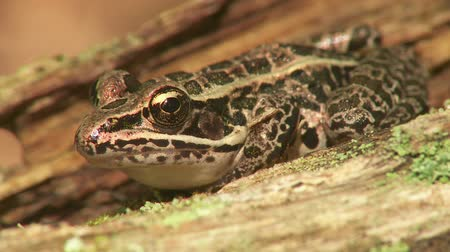 toad : A Northern Leopard Frog (Rana pipiens) sits on a wet decaying log on a summer day.