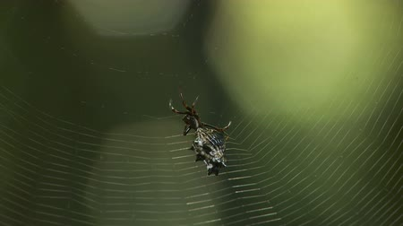 araneae : A female Spined Micrathena (Micrathena gracilis) orb weaver spider spins its orb shaped web.