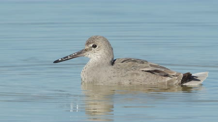 omurgalı : A Willet (Tringa semipalmata) preens its feathers while sitting in shallow water.
