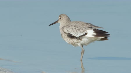 omurgalı : A Willet (Tringa semipalmata) preens its feathers while standing in shallow water.