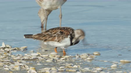 tampa bay : A Ruddy Turnstone (Arenaria interpres) actively pecks, probes, and flips over shells on a beach looking for small crustaceans or molluscs, with a Willet (Tringa semipalmata) feeding nearby.