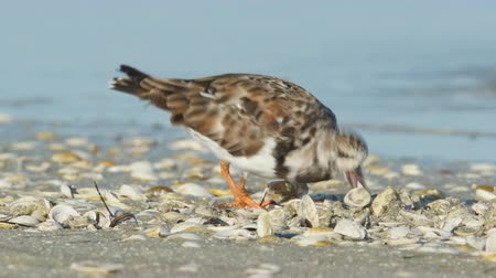 tampa bay : A Ruddy Turnstone (Arenaria interpres) actively pecks, probes, and flips over shells on a beach looking for small crustaceans or molluscs. Stock Footage