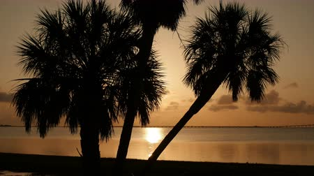 tampa bay : The rising sun is reflected of the waters of Tampa Bay behind silhouetted palm trees. Stock Footage