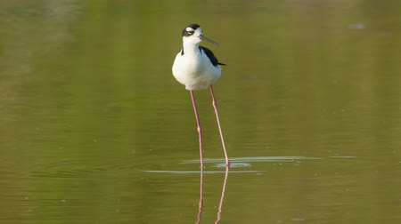omurgalı : A Black-necked Stilt (Himantopus mexicanus) preens its feathers while standing in shallow water in Eco Pond in Everglades National Park.