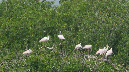 rookery : Juvenile Roseate Spoonbill (Platalea ajaja) perch on trees in their rookery at the edge of Paurotis Pond in Everglades National Park