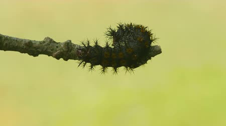 gałązki : A Buck Moth (Hemileuca maia) caterpillar moves across a twig.