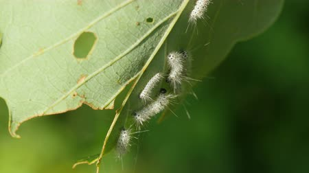 hickory : A group of Hickory Tussock Moth (Lophocampa caryae) caterpillars feed on an oak tree leaf.