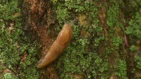 земной : A Dusky Slug (Arion subfuscus) moves slowly up the side of a lichen covered tree trunk shortly after a spring rain shower. Стоковые видеозаписи