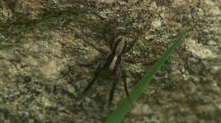 araneae : A male Wolf Spider (Schizocosa crassipes) waits for prey. Stock Footage